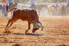Australijczyka rodeo Drużynowy Łydkowy Roping wydarzenie fotografia stock