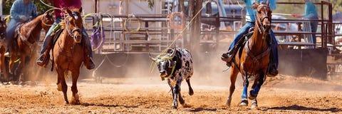 Australijczyka rodeo Drużynowy Łydkowy Roping wydarzenie zdjęcia stock