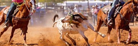 Australijczyka rodeo Drużynowy Łydkowy Roping wydarzenie fotografia royalty free