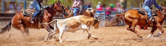 Australijczyka rodeo Drużynowy Łydkowy Roping wydarzenie zdjęcie stock