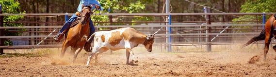 Australijczyka rodeo Drużynowy Łydkowy Roping wydarzenie obraz royalty free