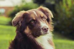 Australijczyka Sheperd pies Zdjęcia Stock
