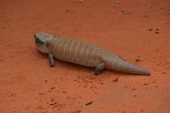 Australijczyka Skink jaszczurka Zdjęcia Royalty Free