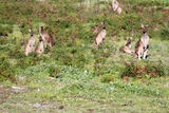 Australijscy brown kangury w polu obok lokalowej nieruchomości Fotografia Royalty Free