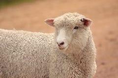 Australijscy cakle r dla mięsa i wełny Zdjęcie Royalty Free