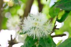 Australijscy miejscowego Bush Lilly Pilly kwiaty Zdjęcia Royalty Free