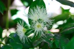 Australijscy miejscowego Bush Lilly Pilly kwiaty Zdjęcie Royalty Free
