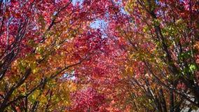 Australijscy ornamentacyjni bonkret drzewa Fotografia Royalty Free