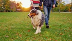 Australijska baca na spacerze z gospodarzami Przy zmierzchem w jesień parku zbiory