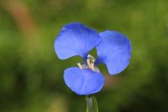 australijska błękitny kwiatu żyd miejscowego błąkanina Obraz Royalty Free