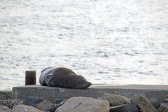australijska futerkowa pieczęć Fotografia Royalty Free