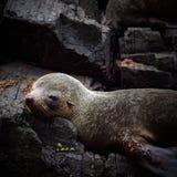 Australijska Futerkowej foki kolonia Obraz Royalty Free