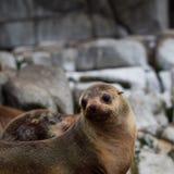 Australijska Futerkowej foki kolonia Fotografia Stock