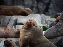 Australijska Futerkowej foki kolonia Fotografia Royalty Free