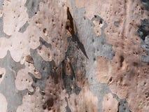 Australijska gumowa drzewna barkentyna zdjęcia royalty free