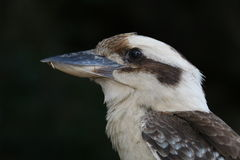 Australijska i Nowa gwinea roześmiany ptasi Kookaburra fotografia stock