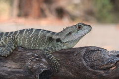 Australijska jaszczurka Zdjęcia Stock