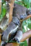 australijska koala Zdjęcia Stock