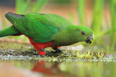 Australijska królewiątko papuga fotografia stock