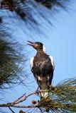 Australijska sroka (Gymnorhina tibicen) Obrazy Royalty Free