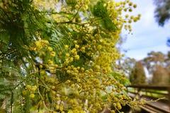 Australijski Żółty Bush Chrustowy dorośnięcie na drzewie w wiośnie zdjęcia royalty free