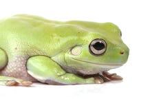 australijski żaby zieleni drzewo zdjęcie stock