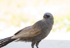 Australijski apostoła ptak Fotografia Royalty Free