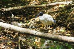 Australijski Biały ibis Zdjęcie Stock