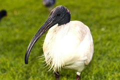 Australijski Biały ibis Zdjęcia Royalty Free