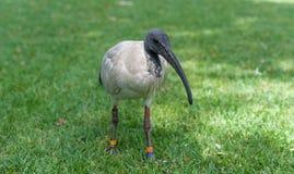 Australijski Biały ibis Threskiornis Molucca Sydney park, Australia Pierścionki na elgs Portret Fotografia Stock