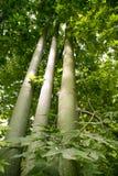 australijski brachychiton płowieje wysokich drzewa Obrazy Royalty Free