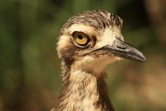 Australijski brzeg ptaka zakończenie obrazy royalty free