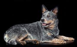 Australijski bydło pies, Błękitny Heeler pies Odizolowywający na Czarnym tle zdjęcie stock