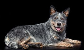 Australijski bydło pies, Błękitny Heeler pies Odizolowywający na Czarnym tle obrazy royalty free