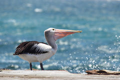 australijski conspicillatus pelecanus pelikan Zdjęcia Stock