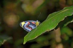 Australijski Czarny Jezebel motyl Zdjęcia Royalty Free