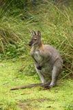 Australijski Czerwony Necked Wallaby obrazy royalty free
