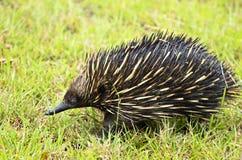 Australijski Echidna lub Spiny Anteater ikony zwierzęca przyroda Australia Zdjęcia Royalty Free