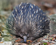 Australijski echidna lub spiny anteater, Queensland Obrazy Royalty Free