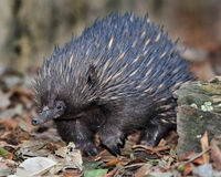 Australijski echidna, spiny anteater/, Queensland Zdjęcia Stock