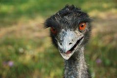 australijski emu Zdjęcia Royalty Free