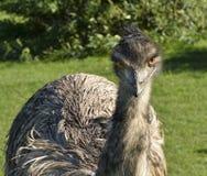 Australijski emu gapi się przy tobą Zdjęcia Royalty Free