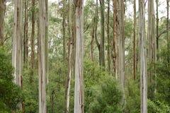 australijski eukaliptusowy las Zdjęcia Royalty Free