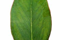 australijski eukaliptusowy liść Zdjęcia Royalty Free