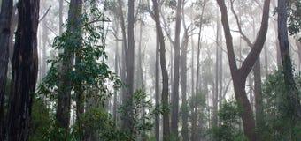 Australijski Eukaliptusowy tropikalny las deszczowy w ranek mgle Obraz Royalty Free