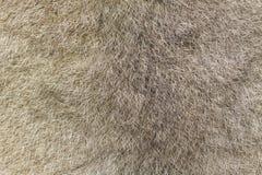 australijski futerka zieleni possum ringtail Obrazy Royalty Free