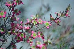 Australijski Herbaciany Drzewny Leptospermum Rudolph obraz stock
