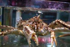Australijski homar Obrazy Stock