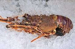 Australijski homar Zdjęcie Stock