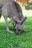 australijski kangur Zdjęcia Royalty Free
